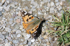 IMG_5918 Schmetterling