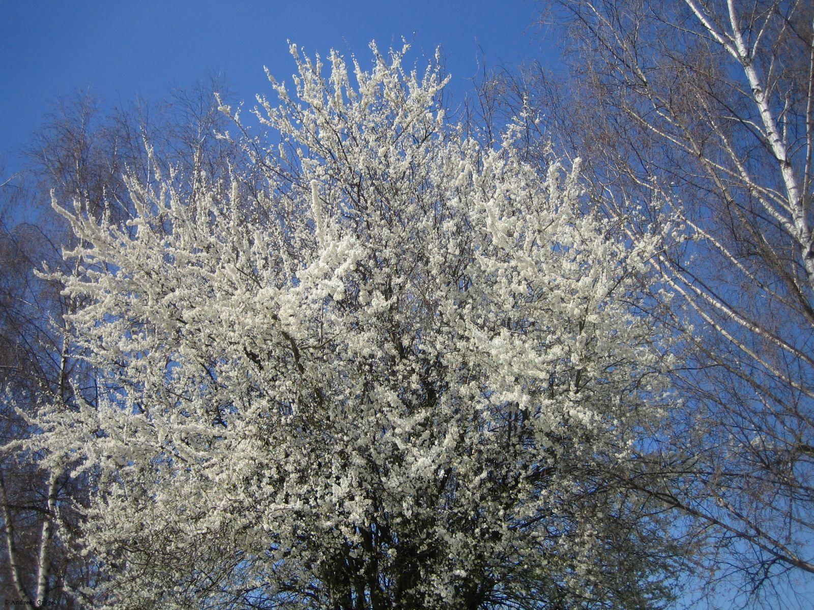Ein blühender Baum am Volksfestplatz