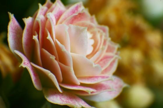 Kalanchoenblüte