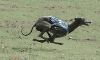 rennhund