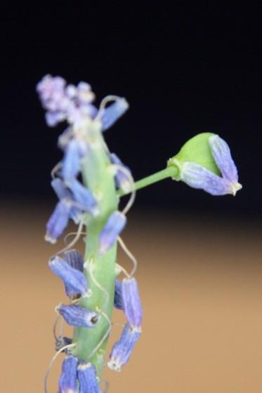 Hyazinthe verwelkt
