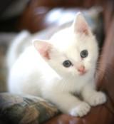 weißes Katzenbaby
