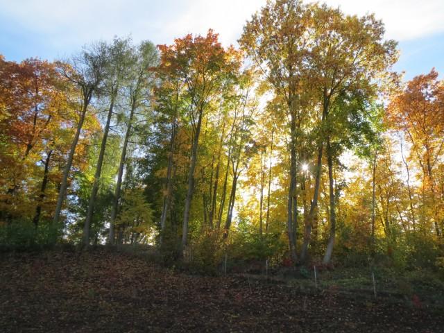 Sonne zwischen herbstlichen Bäumen