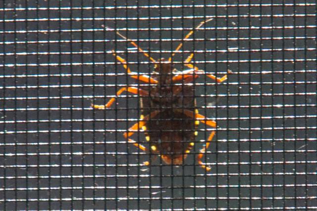 Käfer am Fliegengitter im Gegenlicht IMG_16714a