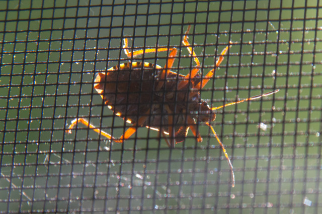Käfer am Fliegengitter im Gegenlicht IMG_16720a