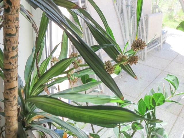 Drachenbaumblüte 2 IMG_4726
