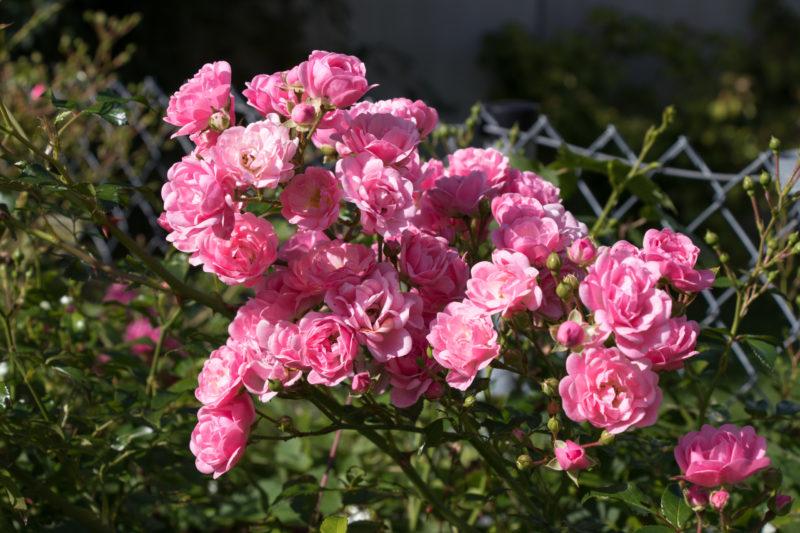 rosen-img_0061